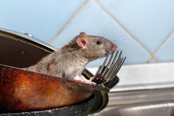dedetizadora de ratos